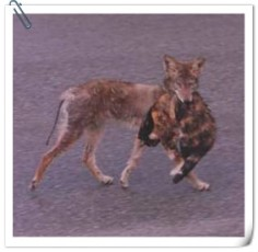 coyote with cat